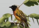 Black-headed (Yellow-backed) Weaver