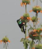 Marico (Mariqua) Sunbird