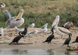 Pink-backed and Great White Pelican