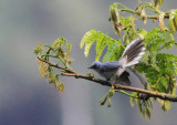 Blue-and-white Crested-flycatcher