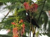 Green-throated Sunbird