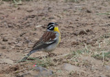 African Golden-breasted Bunting