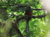 Bar-tailed Trogon