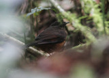 White-tailed Ant Thrush
