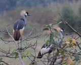 Grey Crowned-crane