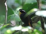 Blue-shouldered Robin-Chat