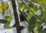 Purple-throated Cuckooshrike