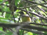 Yellow Longbill