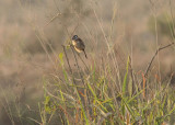 Marsh Tchagra