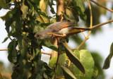 Red-winged Grey Warbler