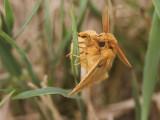 The Drinker moth