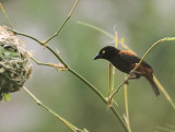 Vieillot's Black Weaver