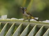 Reichenbach's Sunbird