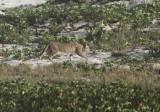 Arabian Wild Cat
