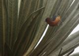 Rufous-browed Conebill