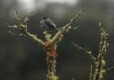Red-crested Cotinga