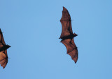 Golden-crowned Flying Fox