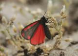 Cinnabar moth