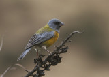 Peruvian Sierra Finch