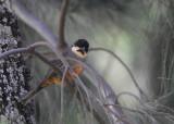 Rusty-bellied Brushfinch