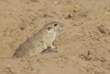 Indian Desert Gerbel