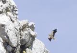 Egyptian Vulture ( Smutsgam ) Neophron percnopterus - CP4P7645.jpg