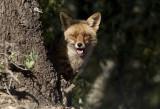 Red Fox ( Rödräv ) Vulpes vulpes - CP4P7754.jpg