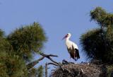 White Stork ( Vit stork ) Ciconia ciconia - CP4P7823.jpg