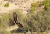 Spanish Imperial Eagle ( Spansk kejsarörn ) Aquila adalberti  - CP4P8034.jpg