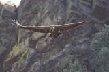 Griffon Vulture ( Gåsgam ) Gyps fulvus - CP4P8166.jpg