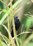 Panama birds