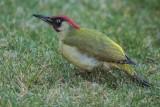 Grünspecht | European Green Woodpecker | Picus viridis