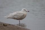 Eismöwe | Glaucous Gull | Larus hyperboreus