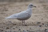 Polarmöwe | Iceland Gull | Larus glaucoides