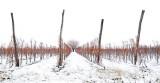 Vineyards during winter