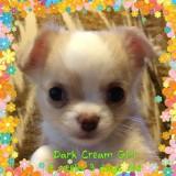 Dark Cream Girl 7 weeks old