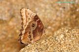 Common Blue Morpho @Butterfly Wonderland