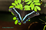 African Blue-Banded Swallowtail @Butterfly Wonderland