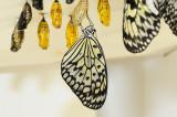 Paper Kite after emerging @Butterfly Wonderland