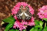 Citrus Swallowtail at Butterfly Wonderland