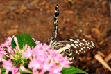 Spicebush Swallowtail at Butterfly Wonderland