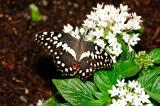 Cirus Swallowtail @Butterfly Wonderland