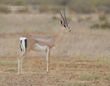 Grants gazelle - Grant's gazelle - Nanger granti