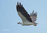Witbuik Zeearend - White-bellied Sea Eagle - Haliaeetus leucogaster