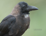 Huiskraai - House Crow - Corvus Splendens
