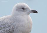 Kleine Burgemeester - Iceland Gull - Larus glaucoides