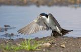 Huiszwaluw - House-martin - Delichon urbica