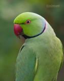 Halsbandparkiet - Ring-Necked Parakeet - Psittacula krameri