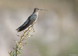 Reuzenkolibrie - Giant Hummingbird - Patagona gigas