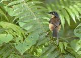 Zwartkap-donacobius - Black-capped Donacobius - Donacobius atricapilla